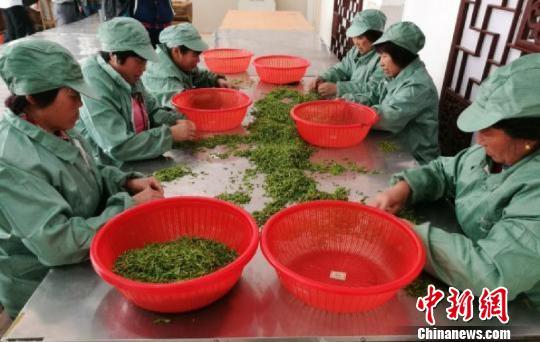 苏州碧螺春3月20日上市 产量同比增长超20%